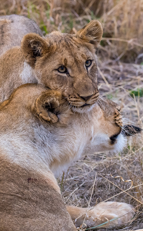Lion cub with its mother