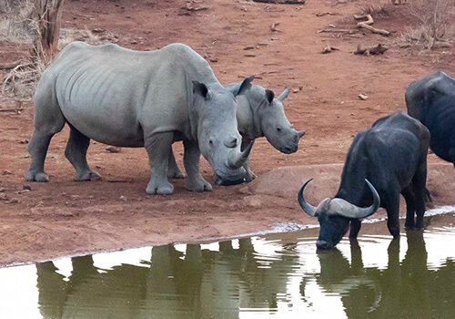 Rhino and Buffalo Drinking